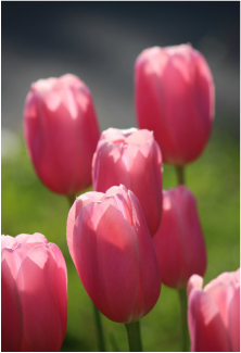Pink tulips in the sunshine